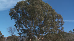 Massif de L'Esterel Large Eucalyptus Tree Stock Footage