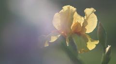 Close up Iris 21 - stock footage