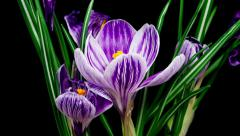 Violet crocus flower blooming and fading timelapse - stock footage