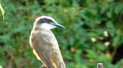 Yellow chest bird, Kiskadee, (Pitangus sulphuratus) Stock Footage