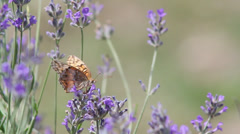 Fritillary on lavender Stock Footage