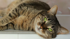 Domestic Tabby Cat - stock footage