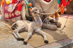 Camel cub lying with mother Stock Photos
