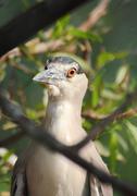 kwakwa - bird of heron - stock photo
