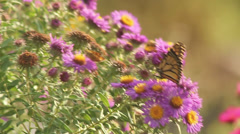 Monarch on asters XII Stock Footage