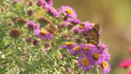 Stock Video Footage of Monarch on asters XII