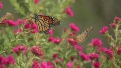 Stock Video Footage of Monarch on asters XI