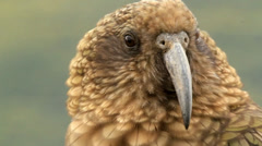 Mountain parrot - Kea Stock Footage