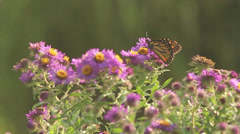 Stock Video Footage of Monarch on asters IX