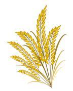 Golden Colors of Jasmine Rice on White Background Stock Illustration