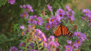 Stock Video Footage of Monarch on asters VII