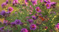 Stock Video Footage of Monarch on asters VI
