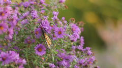 Stock Video Footage of Monarch on asters V