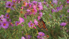 Stock Video Footage of Monarch on asters II
