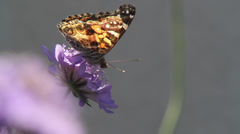 Painted Lady on bachelor's button Stock Footage