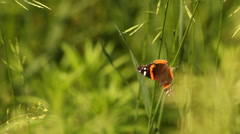 Red Admiral in grass II - stock footage