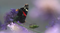 Red Admiral in bachelor's buttons II Stock Footage