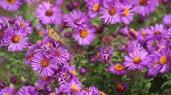 Butterflies on Asters Stock Footage