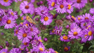 Stock Video Footage of butterflies on Asters