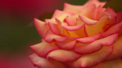 Red tipped yellow rose - stock footage