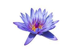 lotus flowers - stock photo