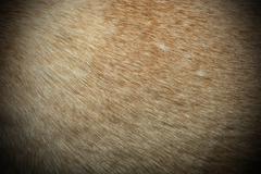 dingo textured fur - stock photo