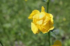 Villi keltainen maapallo-kukka (Trollius europaeus) Kuvituskuvat