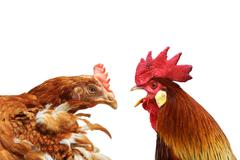 family argue  metaphor with hen and rooster - stock photo