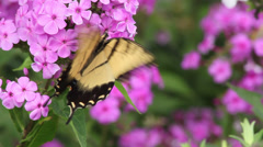 Tiger Swallowtail III Stock Footage