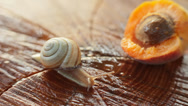 Stock Video Footage of Snail Crossing on Wood With Apricot Fruit HD