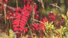 Sumac in breeze Stock Footage