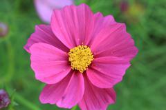 Close up Cosmos flowers Stock Photos