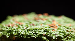 Time lapse of Watercress growig from seed to plant Stock Footage