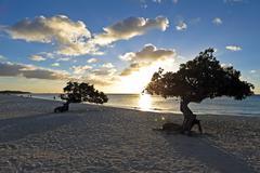 dividivi treeson aruba - stock photo