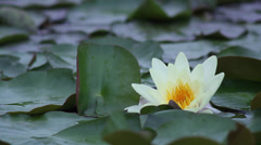 Pale yellow waterlily III Stock Footage