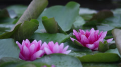 Vibrant pink waterlily II - stock footage