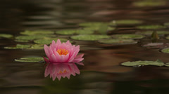 Pink waterlily III - stock footage