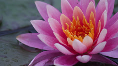 Pink waterlily - stock footage