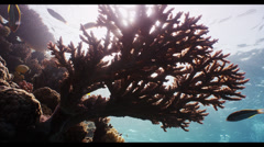 4K : close, branching coral in shallows Stock Footage