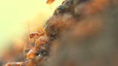 Red weaver ants help together, teamwork concept Stock Footage