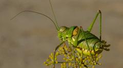 Green grasshopper Stock Footage