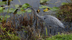 Motionless Great Blue Heron Ready to Strike Stock Footage