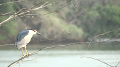 Black Crowned Night Heron Stock Footage