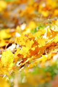 Dead maple leaves - stock photo