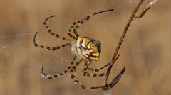 Argiope Spider Stock Footage