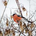 Stock Photo of Bullfinch
