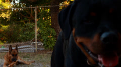Closeup Rottweiler dog with German Shepherd dog in background Stock Footage