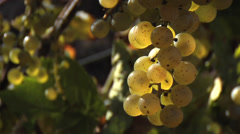 Stock Video Footage of Translucent White Grapes Ready for Picking at Vineyard