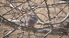 Two Doves during Winter in an Aspen Tree Stock Footage