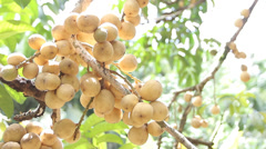 Long Gong, Tropical fruit on tree branch Stock Footage